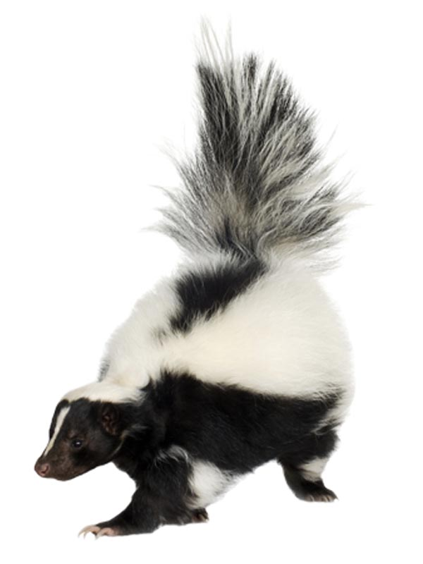 Skunk Odor - Click Image to Close